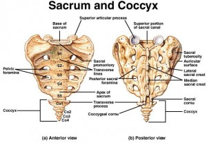 Coccyx-bone