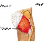 gluteal-muscle-elmevarzesh